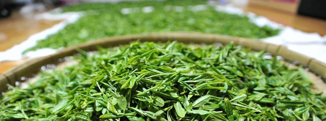 Laadukkain vihreä tee poimitaan aikaisin keväällä.