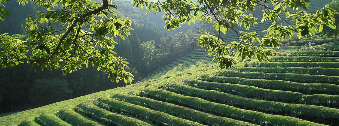 Koreassa teetä kasvatetaan usein vuorilla tai laaksoissa.